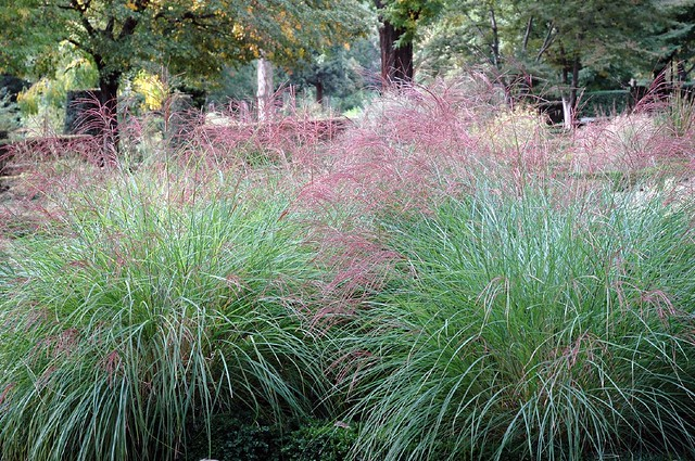 Pink tops nice ornamental grasses by caribb flickr for Small red ornamental grass