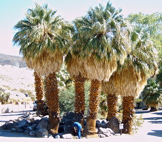 Palm trees in Death Valley