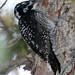 American Three-toed Woodpecker - Photo (c) Michael Jefferies, some rights reserved (CC BY-NC)