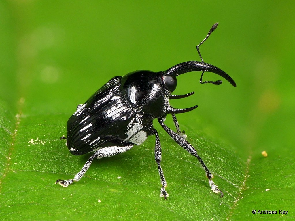 Weevil with tusks, Curculionidae
