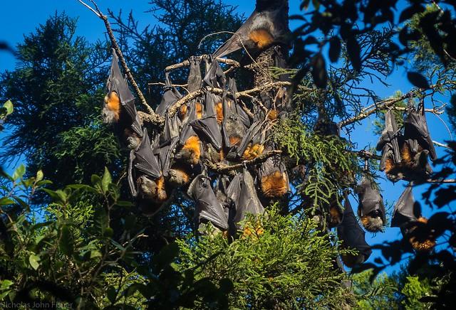 fruit bat cluster