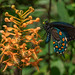 Platanthera ciliaris (Yellow Fringed orchid) and Battus philenor (Pipevine Swallowtail butterfly) by jimf_29605