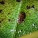 Horse- chestnut Scale Insect - Pulvarina pluvalis