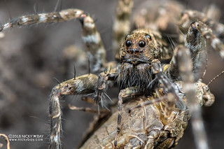 Wolf spider (Lycosidae) - DSC_6276