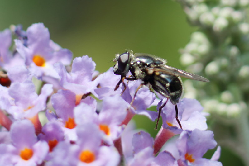 Tiny insects on the Buddleia