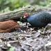 Salvadori's Pheasant, Mt Kerinci, Sumatra ID, 20180710-103.jpg by maholyoak
