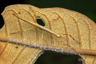 Stick insect nymph (Leiophasma sp.) - DSC_7440