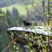 A Welsh blackbird