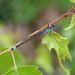 Blue-tailed Damselfly, Gait Barrows, Lancashire, England