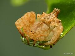 Crab spider, Epicadus trituberculatus, Thomisidae