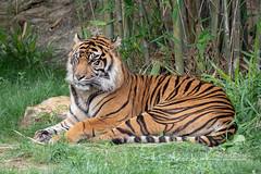 4093188 usa sumatrantiger texas carnivora mammal sumatrantigerpantheratigrissondaica pantheratigrissondaica
