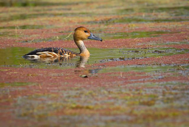 Fulvous Whistling-Duck rare visitor  Ballona Freshwater Marsh Playa Vista California -332