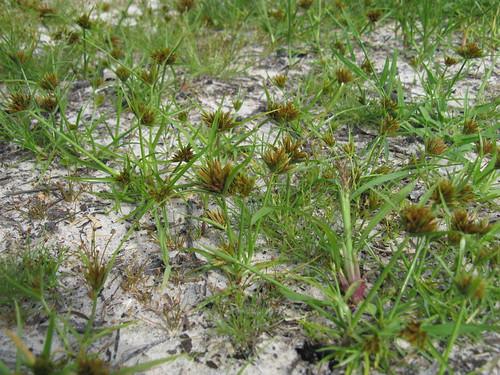 Cyperus polystachyos plant NC12