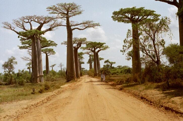 Baobab Trees near Morondava, November, 2001