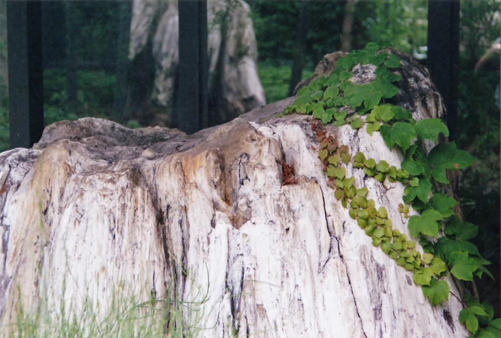 Versteinerter Stamm, Botanischer Garten Dresden,