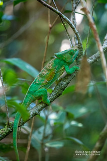 Parson's chameleon (Calumma parsonii) - DSC_7351