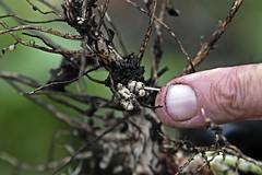 Nitrogen Fixing Nodules (Fava Beans)