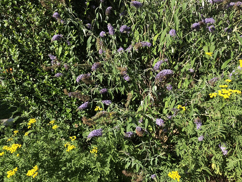 Buddleia and Tansy