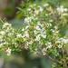 Sannantha similis 1207-1; Myrtaceae (3)