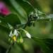 Black Nightshade - Solanum nigrum
