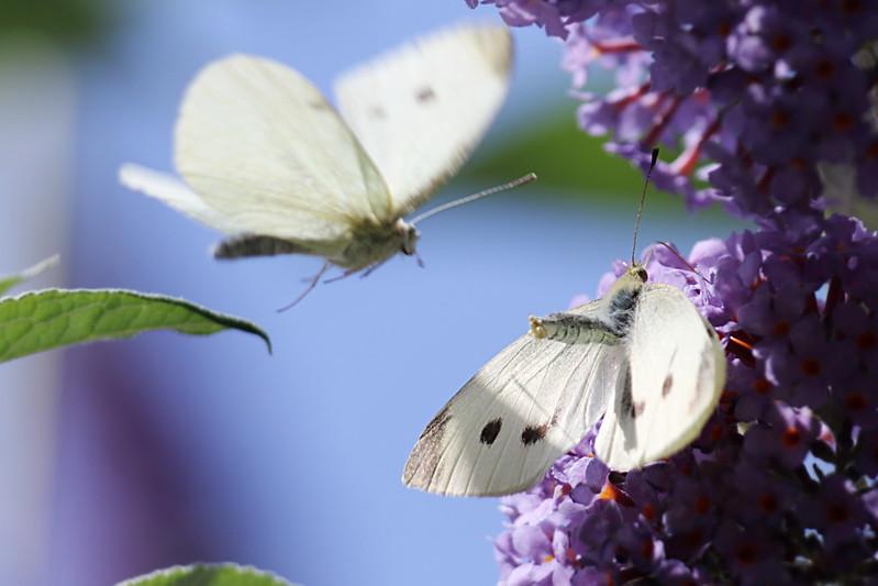 Large Whites