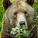Hungry Grizzly just awakened from hibernation (2) by mharrsch