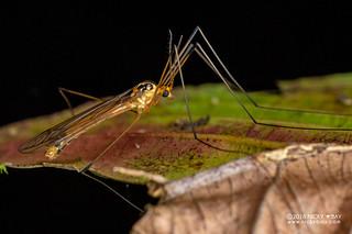 Crane fly (Tipulidae) - DSC_6860