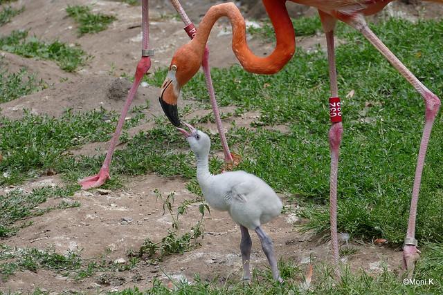 22-Flamingo-Küken