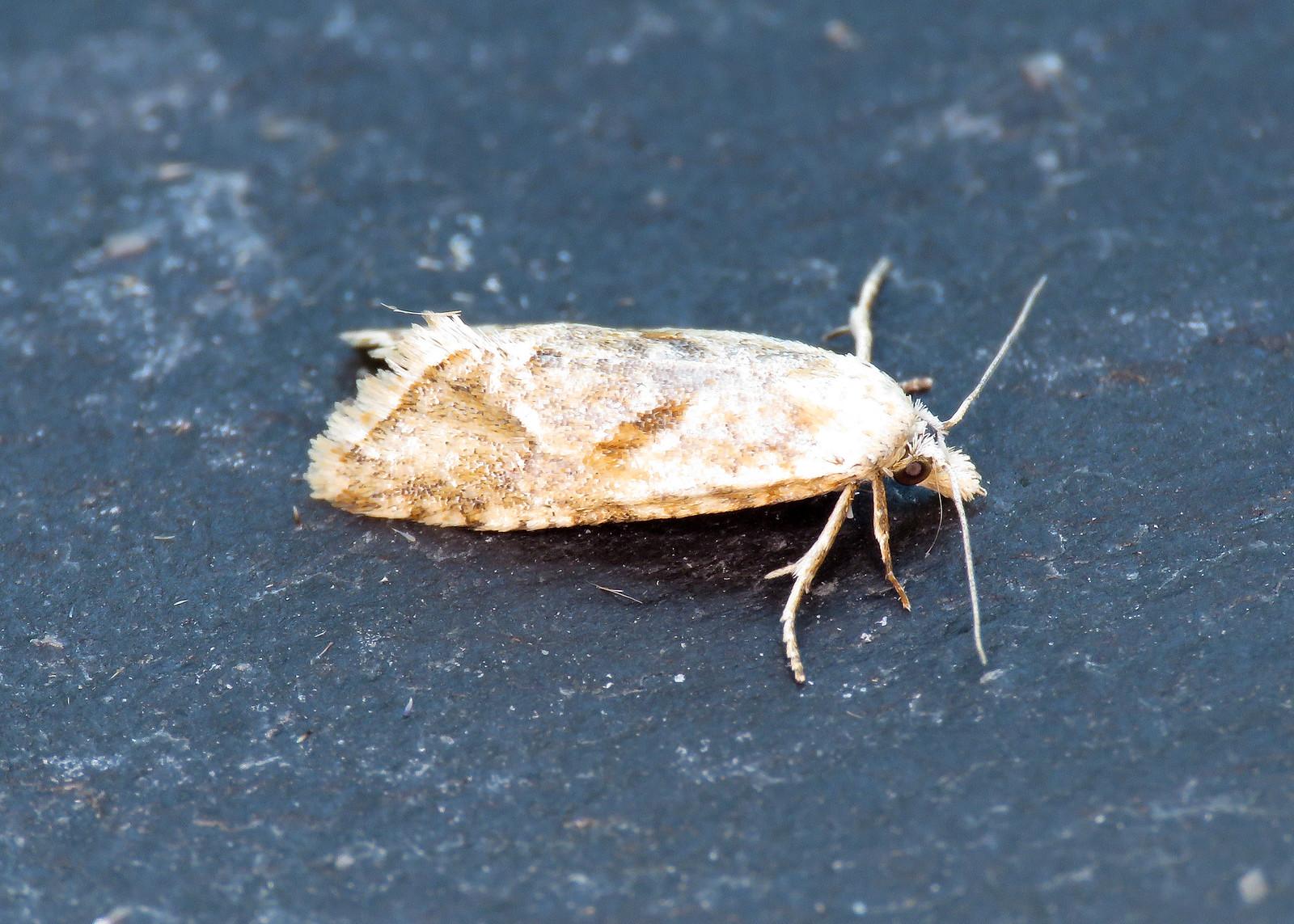 49.097 Straw Conch - Cochylimorpha straminea
