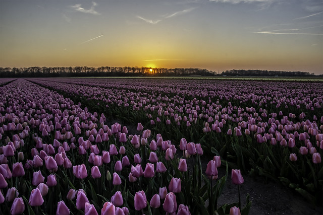 A journey full of tulips