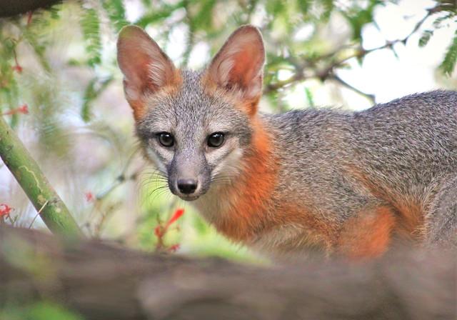 Fox Friend, Canon EOS REBEL T3, Canon EF 70-300mm f/4-5.6 IS USM