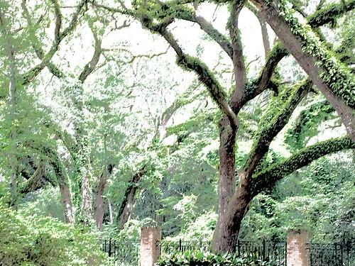 liveoaks oldtrees spanishmoss oldflorida southerncharm rockingchairs largeoaktrees beautifullandscape bringapicniclunch stepbackintime nicechangeofpace usa