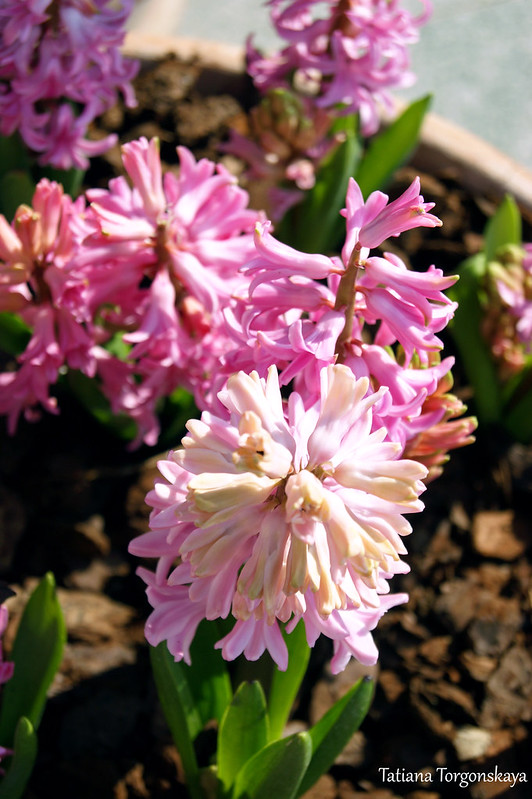 Горшок с цветущими розовыми гиацинтами