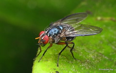 Fly with tufts of hair? on the left compound eye and the thorax