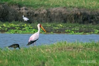 Yellow-billed stork (Mycteria ibis) - DSC_6583