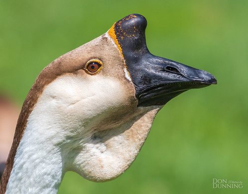 African Goose (Anser anser domesticus)