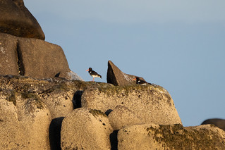 Oyster Catcher's on the rocks