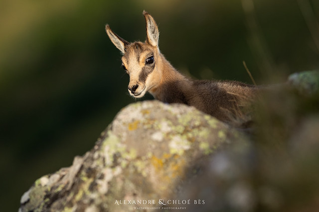 Chamois, Canon EOS 5D MARK IV, Canon EF 300mm f/2.8L IS
