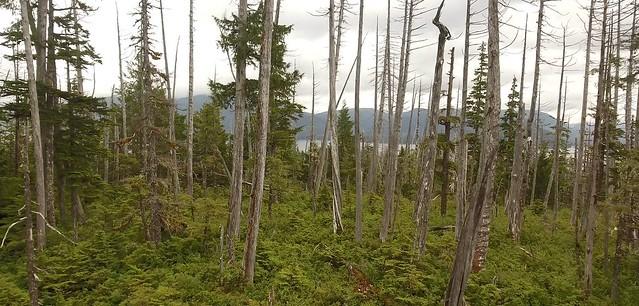 dying yellow cedar in Alaska