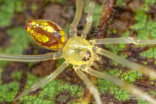 Mirror spider (Thwaitesia sp.) - DSC_6851b