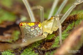 Mirror spider (Thwaitesia sp.) - DSC_6841