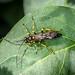 Ichneumon sp. - Hepiopelmus variegatorius