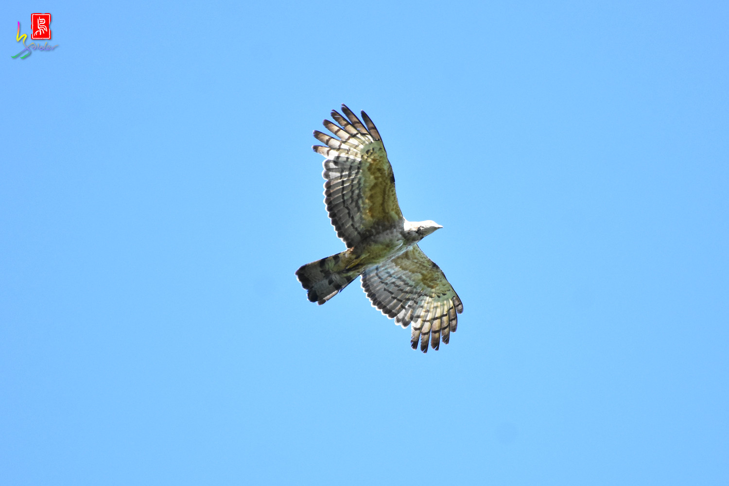 Honey_Buzzard_0186