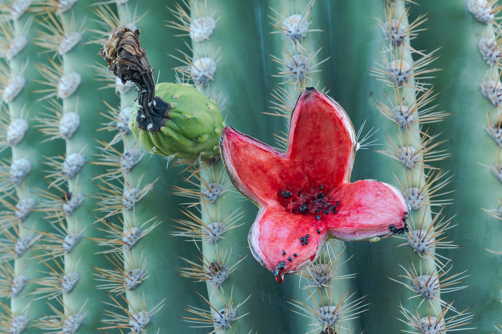 Saguaro fruit emptied of its contents on the side of a saguaro in Pinnacle Peak Park in Scottsdale, Arizona