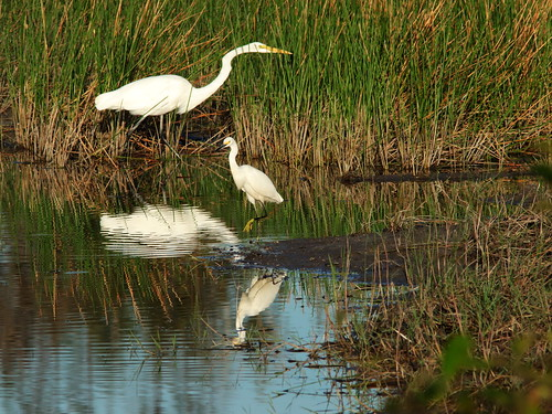 Snowy and Great Egrets 02-20180807