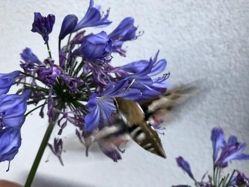 Kolibrifalter/Taubenschwänzchen