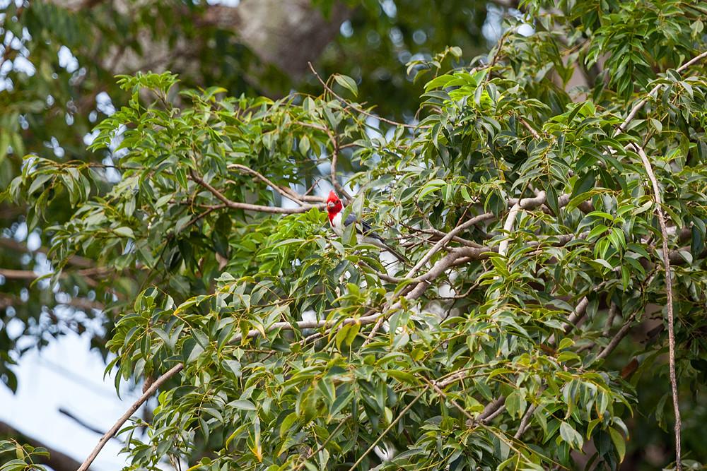 Краснохохлая кардиналовая овсянка (Paroaria coronata)