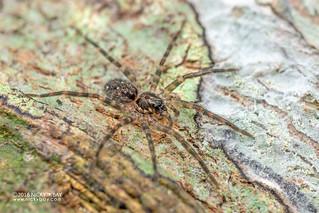 Wandering spider (Ctenidae) - DSC_6919