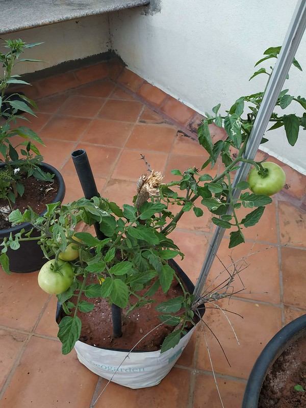 how to increase the yield of a tomato plant