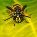 Common wasp Vespula Vulgaris